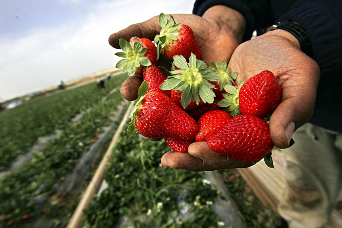 BEIT LAHIA, GAZA STRIP - FEBRUARY 17: Palestinian farmers pick strawberries in their farm on February 17, 2007 in the Beit Lahia town, northern Gaza Strip. Palestinian farmers export strawberry to many European countries.  (Photo by Abid Katib/Getty Images) *** Local Caption ***